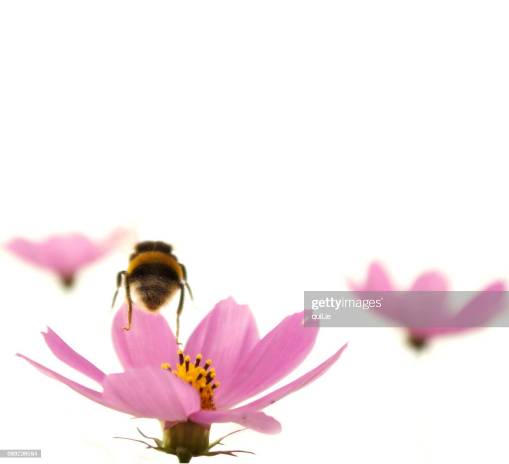 Flying bee and cosmos in white back ground : Stock Photo