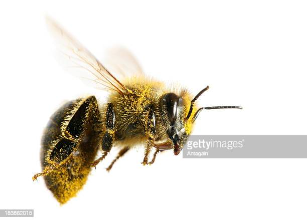 flying bee - bee stock pictures, royalty-free photos & images