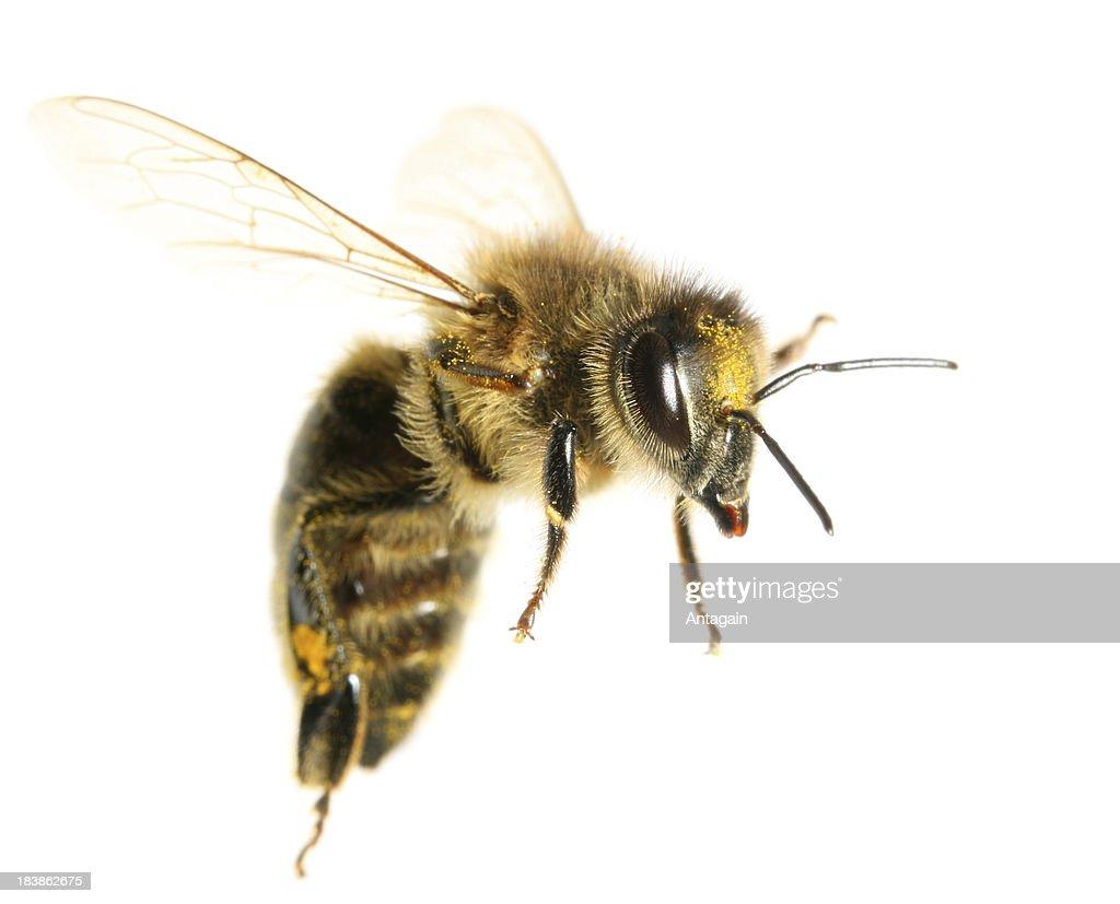 Flying Bee : Stock Photo