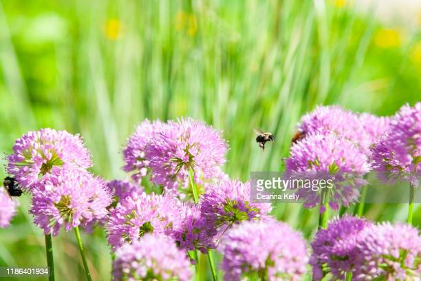 flying bee with proboscis and pollen sac - allium flower stock pictures, royalty-free photos & images
