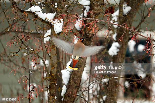Flying bohemian waxwing Bombycilla garrulus with wings spread as it prepares to land on a tree branch