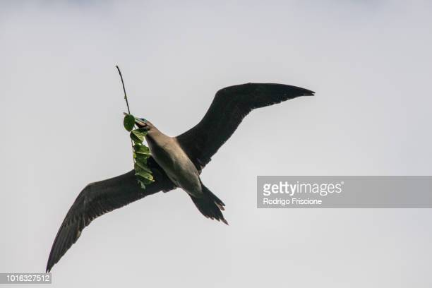flying brown booby carrying twigs in mouth, puntarenas, costa rica - brown booby stock pictures, royalty-free photos & images