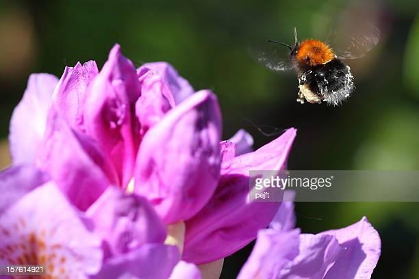flying bumblebee (bombus terrestris) at a rhododendron flower - pejft stockfoto's en -beelden