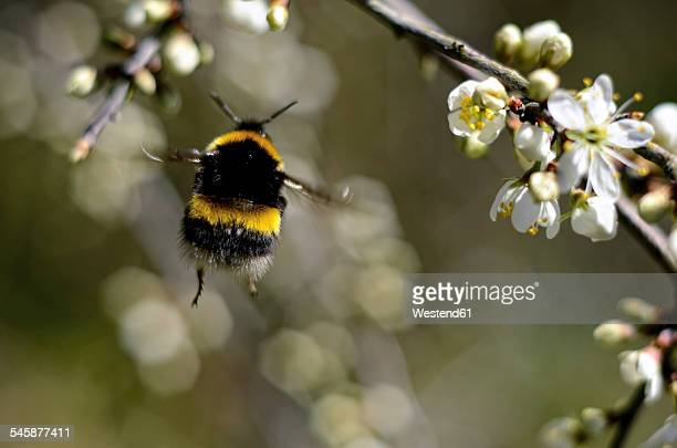 flying bumblebee, bombus, view from below - bumblebee stock pictures, royalty-free photos & images