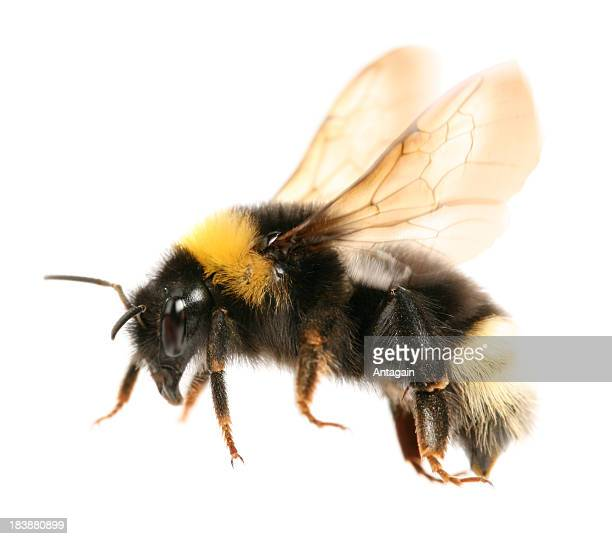 flying bumblebee - bumblebee stock pictures, royalty-free photos & images