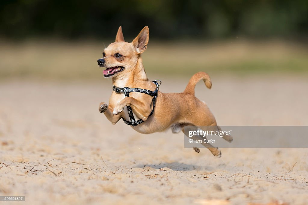 Flying By...Chi Hua Hua! : Stock Photo