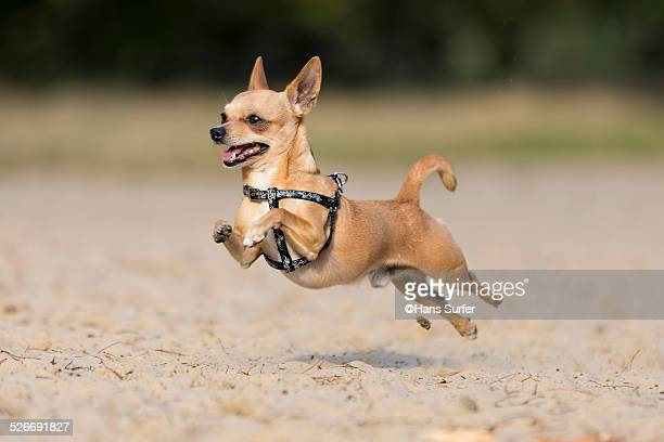 flying by...chi hua hua! - chihuahua desert stock pictures, royalty-free photos & images
