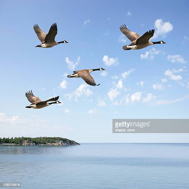 xxxl flying canada geese - birds flying stock photos and pictures