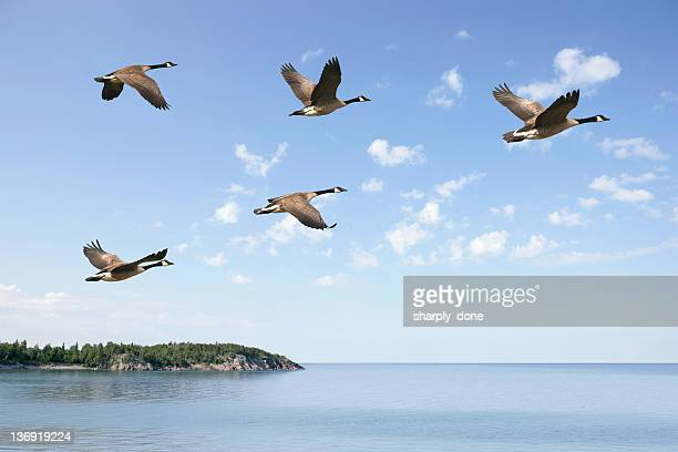 xxxl flying canada geese - arrangement stock pictures, royalty-free photos & images