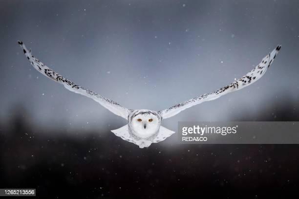 Flying canadian snowy owl. Quebec. Canada. North America.