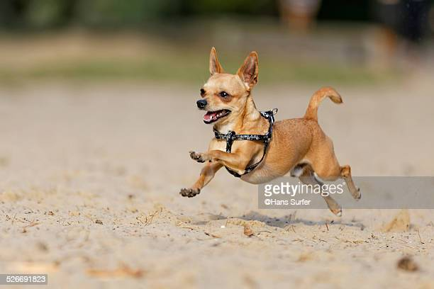 flying chihuahua! - chihuahua desert stock pictures, royalty-free photos & images