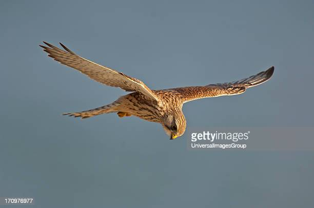 Kestrel Stock Photos And Pictures Getty Images
