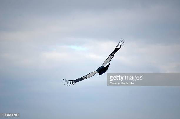 flying condor patagonia - radicella stock pictures, royalty-free photos & images