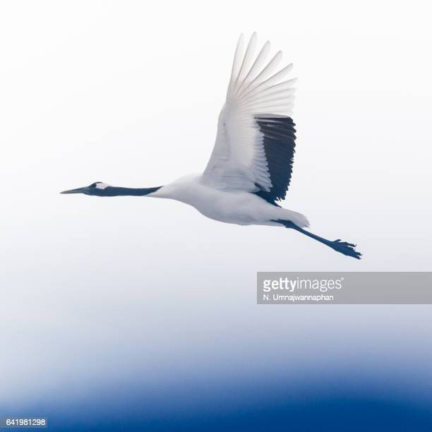 A flying crane above in the sky in Hokkaido