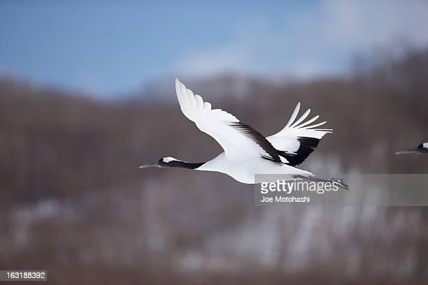 Flying Crane #1