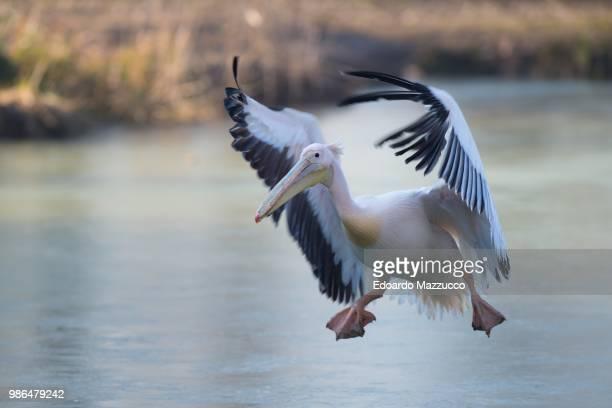 A flying Dalmatian pelican.