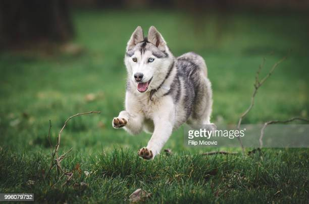 flying dog - husky stock pictures, royalty-free photos & images