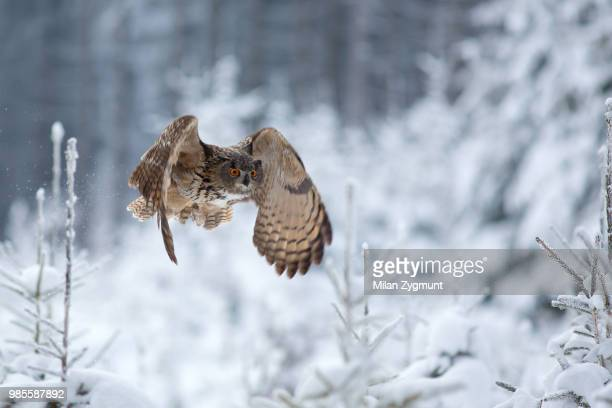 a flying eagle owl in the snow. - gufo reale foto e immagini stock