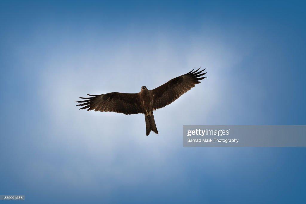 Flying Eagle : Foto de stock