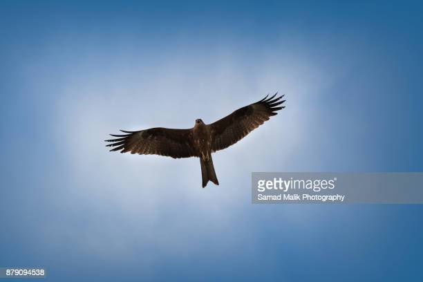 flying eagle - hawk bird stock photos and pictures