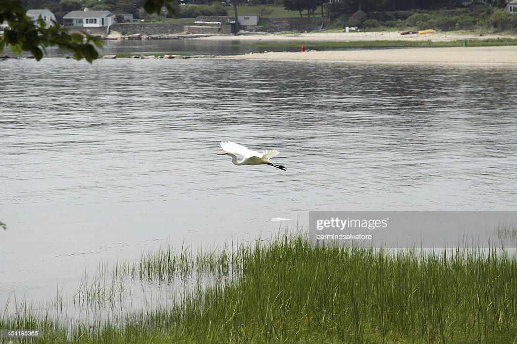 flying egret : Stock Photo