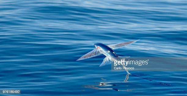 Flying fish above water, Chinijo Archipelago, Canary Islands