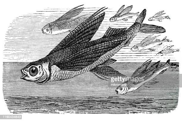 flying fish. antique illustration, popular encyclopedia published 1894. copyright has expired on this artwork - engraving stock pictures, royalty-free photos & images