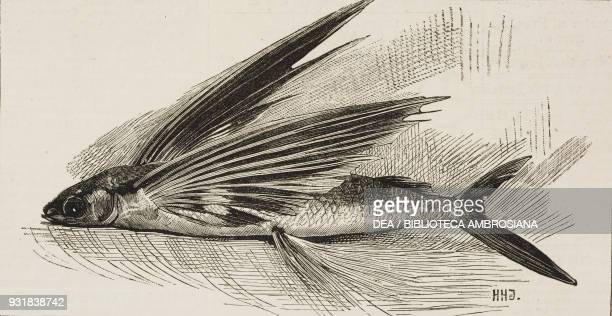 A flying fish caught off Cape Blanco Mauritania illustration from The Graphic volume XXVII no 685 January 13 1883