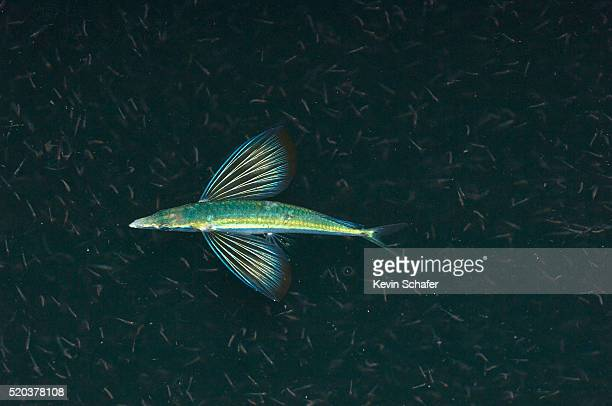 Flying Fish Feeding on Krill