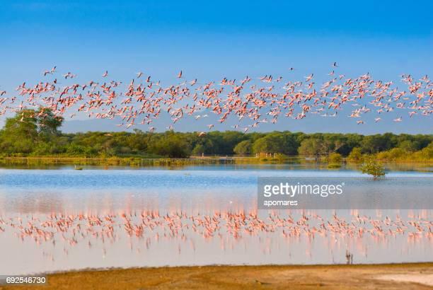 flying flamencos en una reserva de vida silvestre tropical - paisajes de venezuela fotografías e imágenes de stock