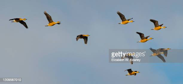 flying flock of fulvous whistling ducks - stormo di uccelli foto e immagini stock