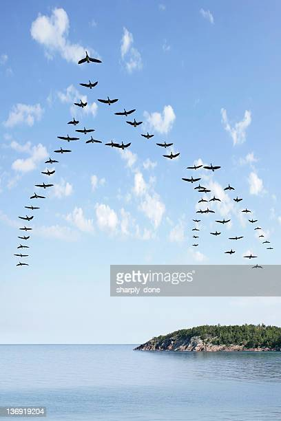 XL flying flock of geese