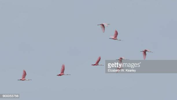 flying flock of roseate spoonbills - titusville florida stock pictures, royalty-free photos & images