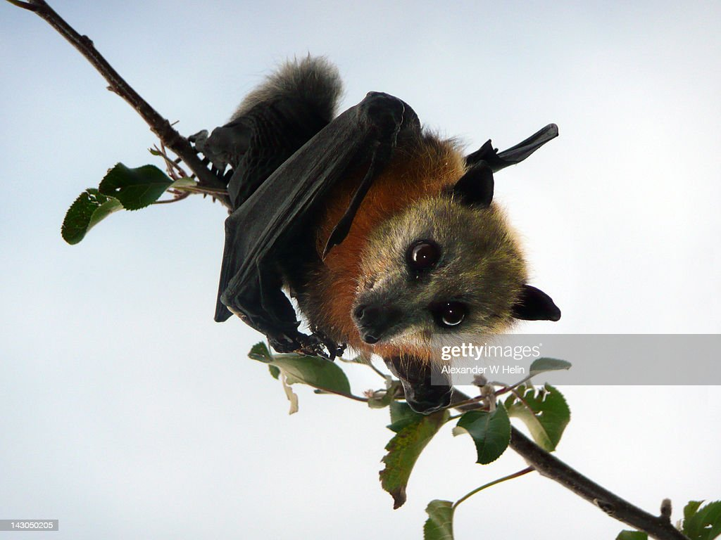 Flying fox in apple tree : Stock Photo
