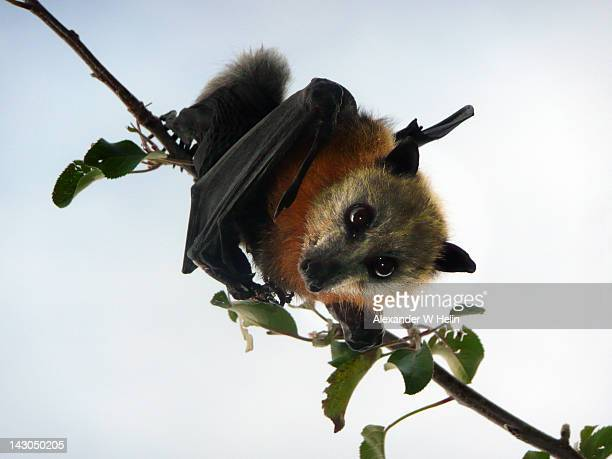 flying fox in apple tree - bat animal stock pictures, royalty-free photos & images
