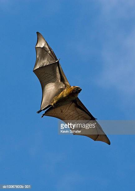 Flying Fox (Pteropus rufus), low angle view