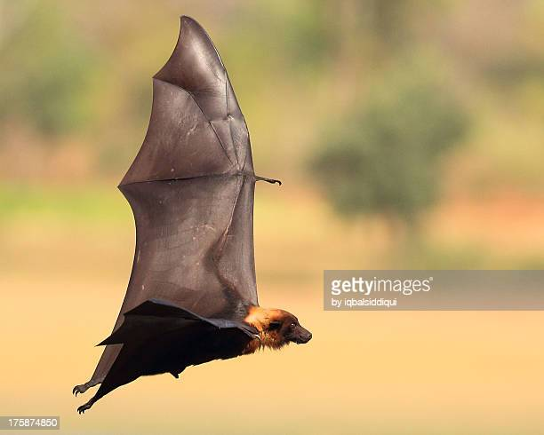 flying fox - fruit bat stock pictures, royalty-free photos & images