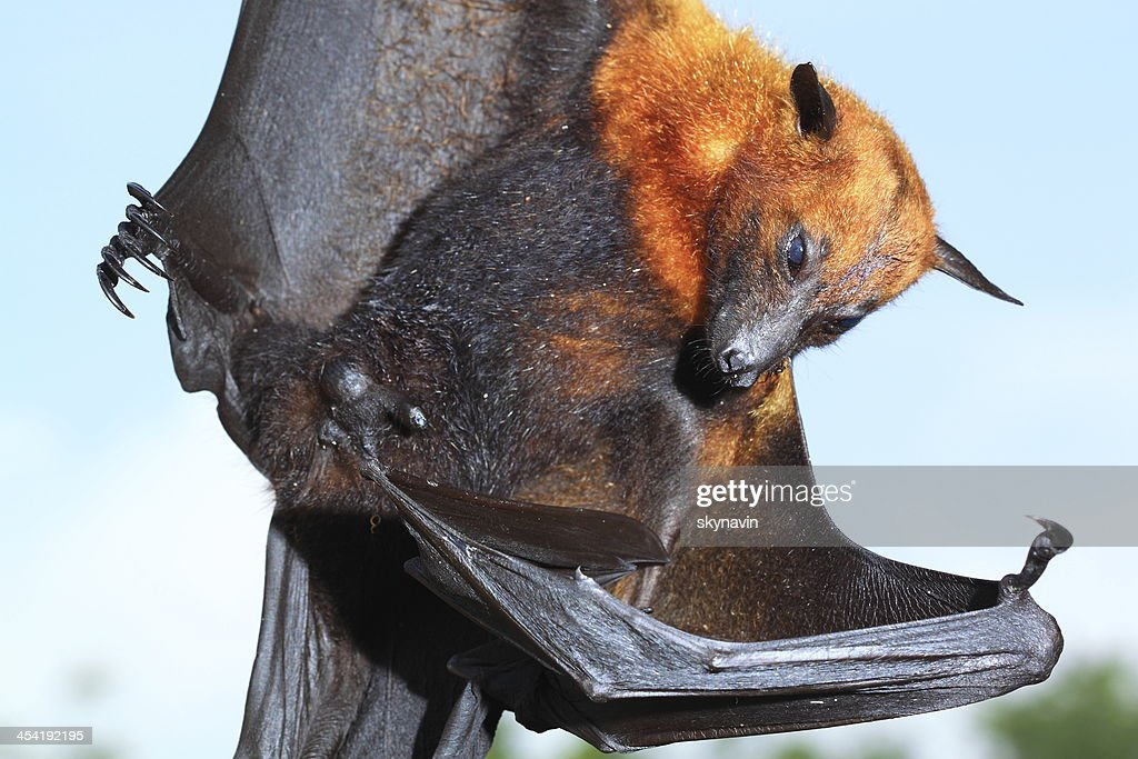 Flying fox : Stock-Foto