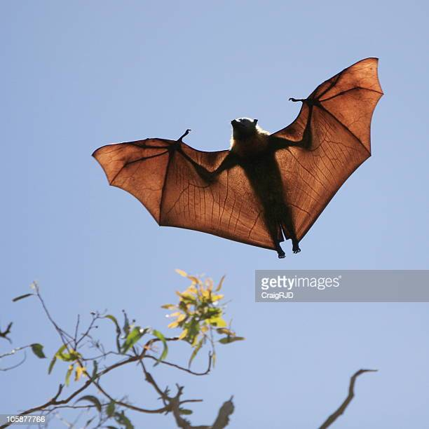 Flying Fox-Silhouette