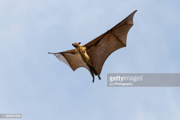 flying fox with spread wings. - flying fox stock pictures, royalty-free photos & images