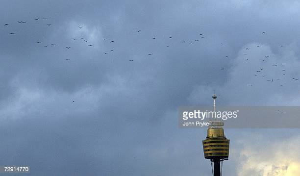 Flying Foxes fly past Sydney's Centrepoint Tower at sunset January 3 2007 in Sydney Australia The Flyingfox which is one of the largest bats in...