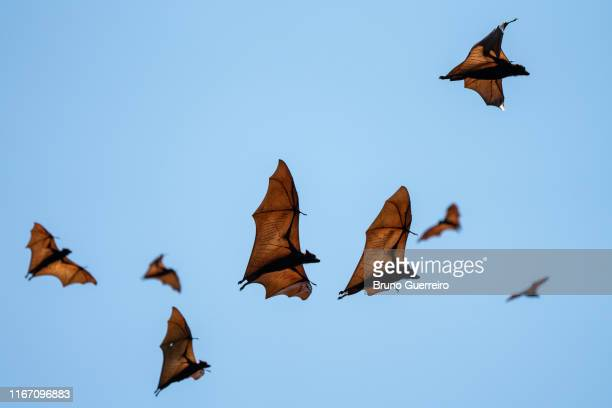 flying foxes flying in the sky - flying fox stock pictures, royalty-free photos & images