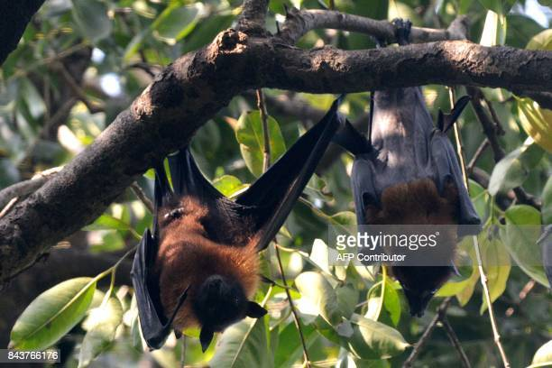 Flying foxes hang on the branches of a tree at a garden in Amritsar on September 7, 2017. / AFP PHOTO / NARINDER NANU