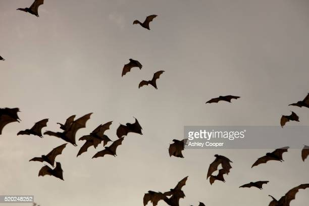 flying foxes in flight - bat animal stock pictures, royalty-free photos & images
