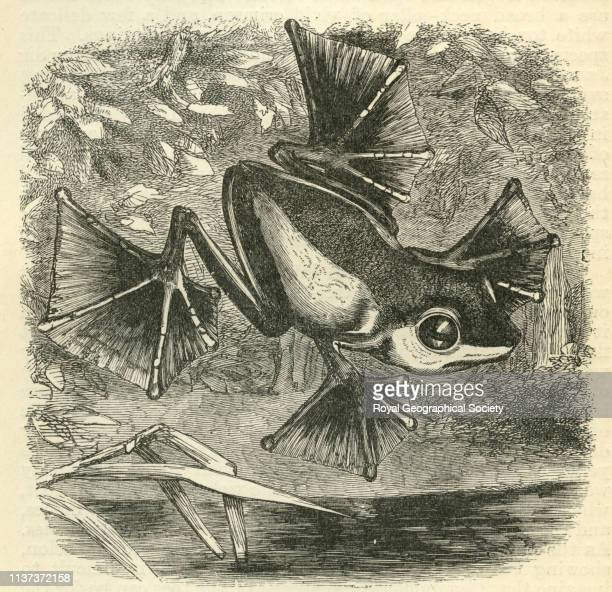 Flying frog from 'The Malay Archipelago the land of the orangutan and the bird of paradise A narrative of travel with studies of man and nature' by...