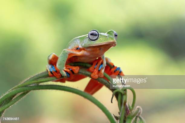 Flying frog on a plant, Indonesia