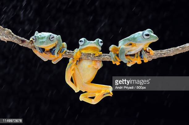 flying frog - fregate stock photos and pictures
