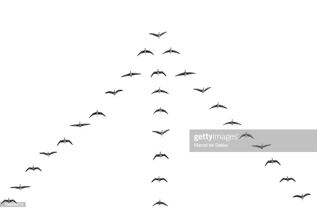 Flying geese : Stock Photo