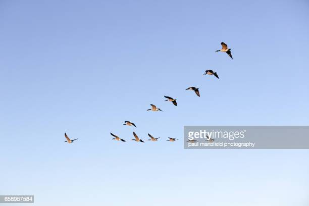 flying geese - arrangement stock pictures, royalty-free photos & images