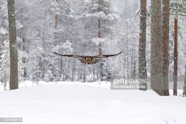 flying golden eagle (aquila chrysaetos) on winter forest - aguila real fotografías e imágenes de stock